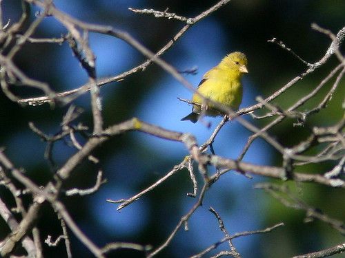 American Goldfinch 20100908
