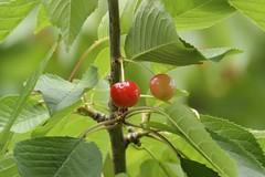 Cereza Prunus avium - Fruto