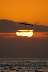 Pelican and Sunset. Take 1. (slworking2) Tags: ocean california ca sunset sun beach silhouette strand silver san pacific diego coronado seabull