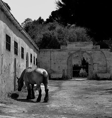 Lone horse (PegaPPP) Tags: horse white black animal work project alone loneliness grunge solo lone fotografia cavallo bianco tempo nero animale pega lavoro tiro fatica solitudine senza progetto traino sensazione senzatempo