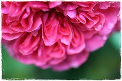Rosarium Uetersen1, pink (Rrruthie2) Tags: projekt farbenpracht