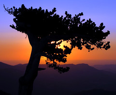 The Hope of a New Day (Sandra Leidholdt) Tags: trees usa silhouette pine america sunrise us colorado unitedstates silhouettes explore american rockymountains frontrange pinetrees bristleconepine amricain silhuetas subalpine bristlecones explored sandraleidholdt leidholdt sandyleidholdt