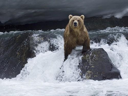 フリー写真素材, 動物, 哺乳類, 熊・クマ, ヒグマ,