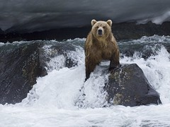 [フリー画像] 動物, 哺乳類, 熊・クマ, ヒグマ, 201105241100
