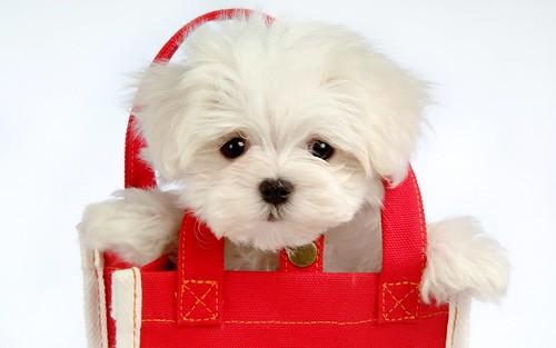 フリー写真素材, 動物, 哺乳類, イヌ科, 犬・イヌ, マルチーズ, 子犬・小犬,