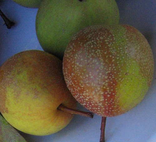 "image: ""Dabney"" heirloom pear"