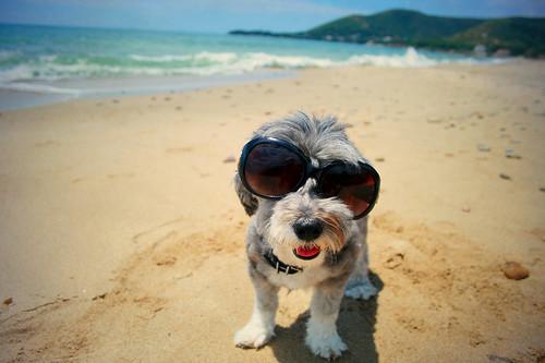 Michi:  cane divertente  con occhiali da sole