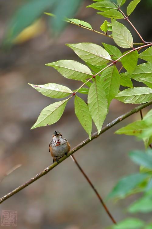 Allen's Hummingbird 05101-3
