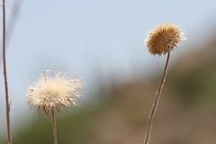 Thistle in the breeze (azwoogie) Tags: arizona flower desert thistle az sonoran driedflowers fourpeaks newmexicothistle drythistle