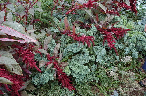 "Hopi Red Dye Amaranth with Kale <a style=""margin-left:10px; font-size:0.8em;"" href=""http://www.flickr.com/photos/91915217@N00/4995246504/"" target=""_blank"">@flickr</a>"
