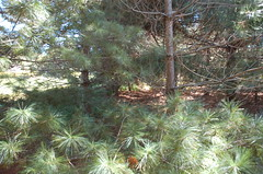 """Magical Pine Grove <a style=""""margin-left:10px; font-size:0.8em;"""" href=""""http://www.flickr.com/photos/91915217@N00/4997186249/"""" target=""""_blank"""">@flickr</a>"""