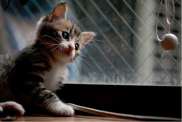 cute rescued tabby kitten curious about the curtain string
