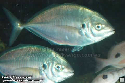 Silver Trevally - Pseudocaranx georgianus