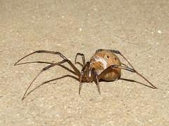 Theridiidae>Latrodectus geometricus? Female Brown widow spider Female DSCF76591 (Bill & Mark Bell) Tags: exmouth westernaustralia australia geo:town=exmouth geo:state=westernaustralia geo:country=australia geo:lon=11425453egeolat2217752sgeoalt8m 11425453e2217752salt8m taxonomy:kingdom=animalia animalia taxonomy:phylum=arthropoda arthropoda taxonomy:class=arachnida arachnida taxonomy:order=araneae araneae taxonomy:family=theridiidae theridiidae taxonomy:genus=latrodectus latrodectus geometricus taxonomybinomialnamelatrodectusgeometricus latrodectusgeometricus taxonomycommonnamebrownwidowspider brownwidowspider spider