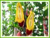 Thunbergia mysorensis (Clock Vine, Lady's Slipper Vine, Brick & Butter Vine, Dolls' Shoes, Mysore Clock Vine)