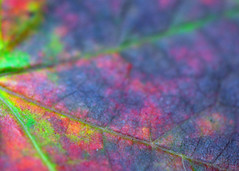 Shades of Autumn, Eggplant (Mary Vican) Tags: pink autumn red sky orange macro tree green fall nature floral crimson leaves yellow season insect lens fire flying leaf saturated bright eggplant vibrant branches seasonal newengland 85mm september bee rhodeisland changing photowalk change veins botanicalgarden southshore fiery mottled scituatemassachusetts southcounty earlyfall veiny earlyautumn westgreenwich nikond90 beebum