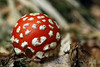 Young fly agaric (Crones) Tags: nature mushroom canon sigma boletus flyagaric 105mm sigma105mm 450d
