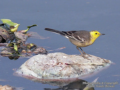 YELLOW-HEADED WAGTAIL (Motacilla citreola) (PIJUSH KANTI BISWAS) Tags: water up birds yellow indian pb wagtail jheel motacila indianbirds indirapuram makanpur
