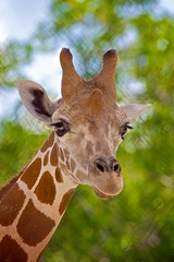 Just your average mug shot! (Rick Shackletons Photographic Adventures) Tags: rick giraffe shackleton naplesflorida aza giraffacamelopardalis napleszoo colliercountyflorida rickshackleton