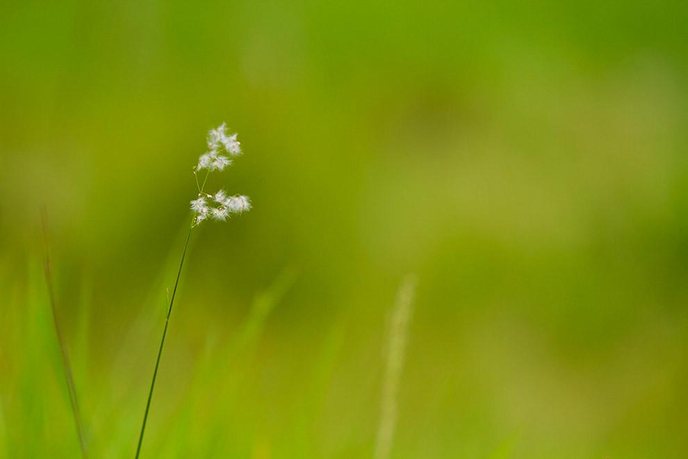 Semillas de Diente de León listas para ser dispersadas por el viento durante la primavera, el método de reproducción de estas plantas es uno de las más curiosos que existe en la naturaleza. (Tetsu Espósito - Asunción, Paraguay)
