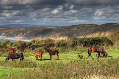 Dartmoor Ponies on Rame Head (rosyrosie2009) Tags: uk sea england seascape beautiful landscape photography coast nikon flickr cornwall photos explore whitsandbay hdr gettyimages westcountry coastpath ramehead tonemapped dartmoorponies explored freathy devonandcornwall d5000 rosiesphotos tamronaf70300mmf456dildmacro tamron70300mmlens nikond5000 rosiespooner rosyrosie2009 rosemaryspooner rosiespoonerphotography