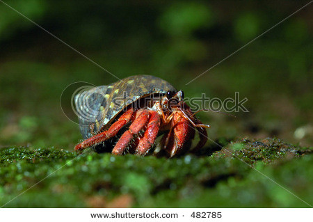 stock-photo-red-land-sea-hermit-crab-coenobita-rugosa-from-the-south-coast-of-java-island-indonesia-482785