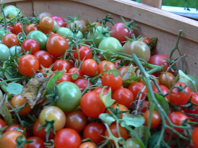 freshly harvested tomatoes!