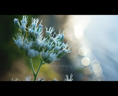 """""""Most people would rather be certain they're miserable, than risk being happy."""" [268] (KMRM Photography) Tags: ocean flowers sea plants sun lake plant flower water sunshine happy photography shine bokeh shoreline line shore kmrm kmrmphotography"""