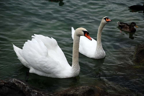 Swans of Montreux