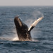 Humpback Whale Breaching 2, Stellwagen Bank - Click thumbnail for image options