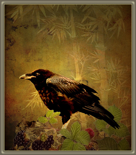 Crow and blackberry