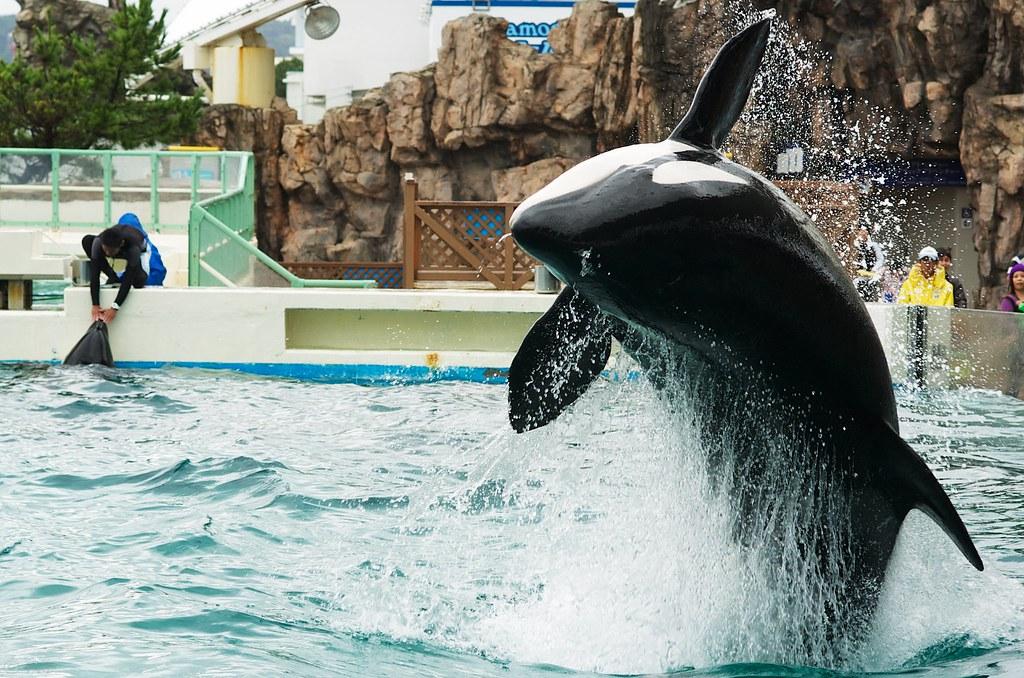 killer whale #6