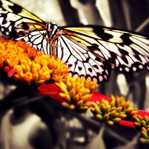 Butterfly | 蝶