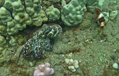 spots on the reef (bluewavechris) Tags: ocean life sea color eye water animal coral hawaii marine underwater snorkel legs dive maui octopus reef creature eight suckers