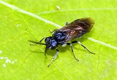 Sawfly, Arge similis (aeschylus18917) Tags: macro nature japan insect fly nikon  saitama saitamaken chichibu arge 105mm hymenoptera insecta  105mmf28 sawfly endopterygota symphyta 105mmf28gvrmicro parasitoid saitamaprefecture d700 nikkor105mmf28gvrmicro  tenthredinoidea   argidae chichibushi argesimilis danielruyle aeschylus18917 danruyle druyle    arginae argesimilissimilis