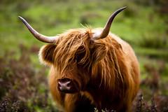 Highland cattle on Isle of Islay