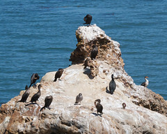 Double-crested Cormorants Photo