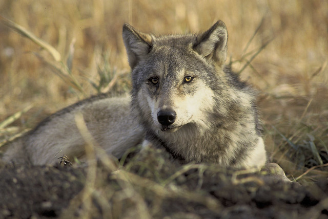 Endangered, threated gray wolf (Endangered gray wolf (Canis lupus)