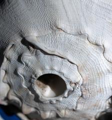 Conch Shell, Front Surface (cobalt123) Tags: arizona white detail texture phoenix closeup beige pattern gray shell surface conch ecru canon40d 60mmefsf28 krishome