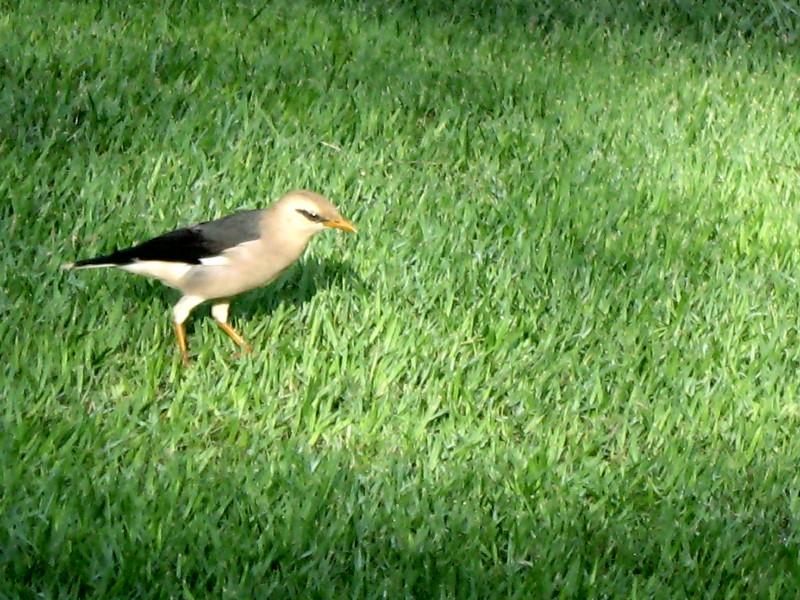 02-10-2010-vinous-starling