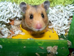 The innocent face is a LIE (jellybaby86) Tags: rescue pet girl adorable hamster warrior syrian tynchie