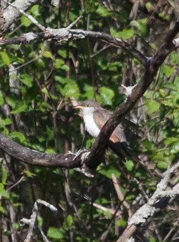 Cuckoo!