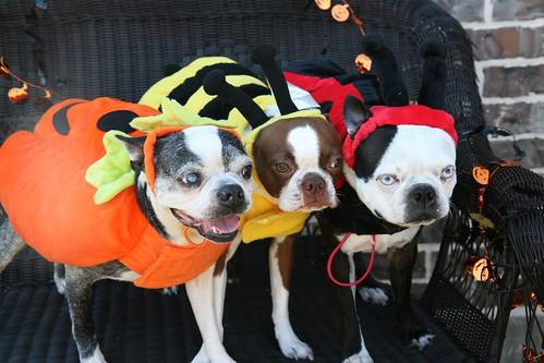 three halloween boston terriers