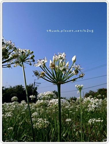 韭菜花田 (6)
