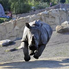 Nashorn (Michael Döring) Tags: zoo bismarck gelsenkirchen d300 nashorn zoomerlebniswelt michaeldöring af80400