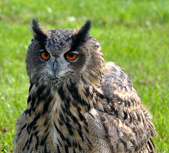 Oehoe - Eurasian Eagle-owl - Bubo bubo (RuudMorijn) Tags: show holland bird netherlands dutch birds real eagle nederland pssaro aves made grandduc owl coruja holanda prey paysbas pases birdsofprey vogel oiseaux uhu eerste 2010 bho niederlande falconer zeigen noordbrabant uccello oehoe eurasianeagleowl bubobubo valkenier guia hibou eagleowl uil eule bajos gufo muestran roofvogel pasesbajos hollandse drimmelen belanda niederlndisch  olandese paesibassi  roofvogelshow specanimal holandeses holands birdsofpreyshow birdofpreyshow    nerlandais   gemeentedrimmelen montrent     biesboschstreekfeest
