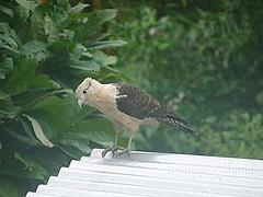Bird_P432 (Robinson T Cunha) Tags: panasonic naturesgreenpeace freedomtosoarlevel1birdphotosonly