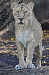 Asiatic Lioness (Truus & Zoo) Tags: netherlands animals zoo rotterdam blijdorp nederland endangered dierentuin asiaticlion pantheraleopersica aziatischeleeuw itsazoooutthere flickrbigcats