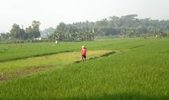 Rice 1 (tokek_junior) Tags: red green field indonesia boer landscape java groen rice central explore farmer rood veld jawa rijst indonesi landschap tengah rijstveld explored