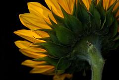 Sunflower Backside (Julie Rideout) Tags: flowers yellow sunflower backlighting macrophotography nikond200 nikkor105mmmacro julierideout